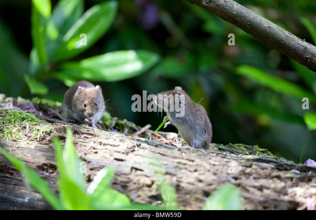 Weasels Stock Photos Amp Weasels Stock Images Alamy