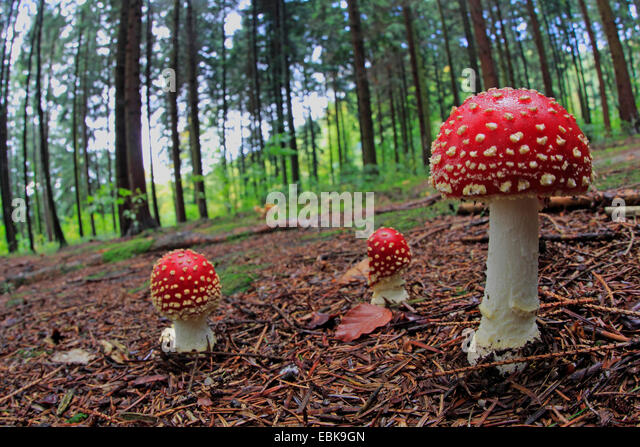 how to cook fly agaric mushrooms