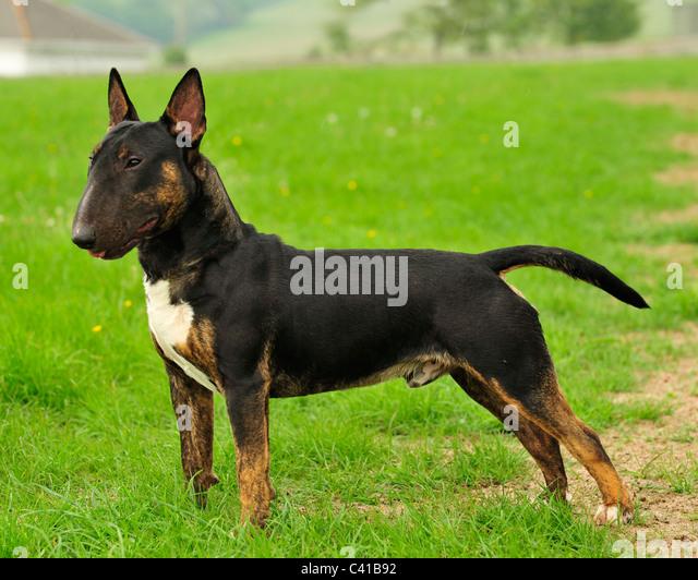 Bull Terrier Black And Tan | www.pixshark.com - Images ...