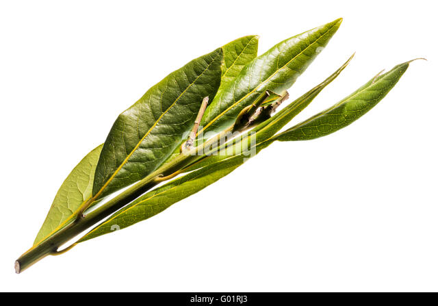 Laurel leaves stock photos laurel leaves stock images alamy - Cook bay leaves ...