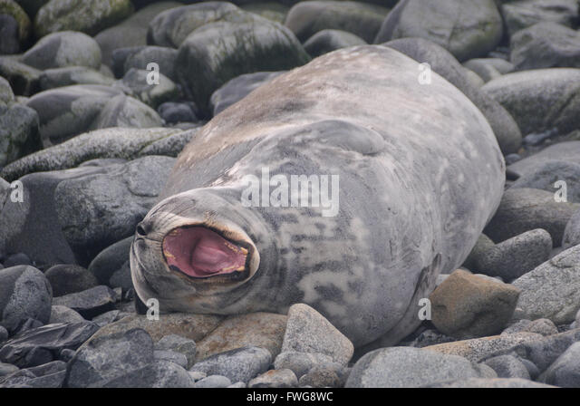 Weddell Seal Island Stock Photos & Weddell Seal Island ...