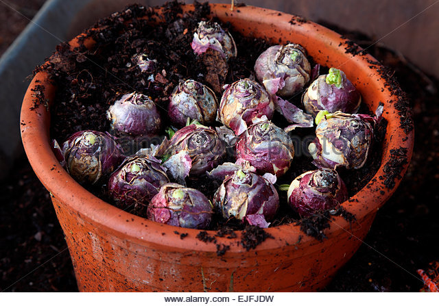 Bulbs pot stock photos bulbs pot stock images alamy - Planting hyacinths pots ...