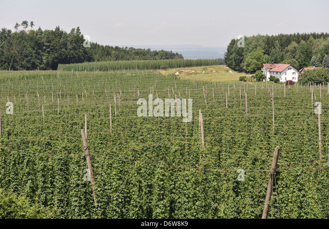 how to grow hops in bc