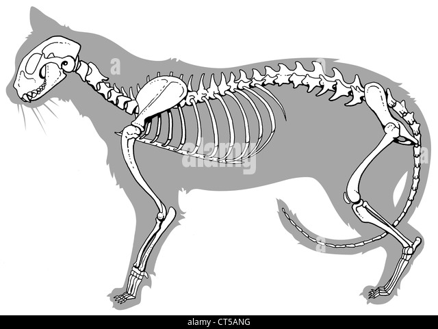 Cat Skeleton Drawing Ecosia