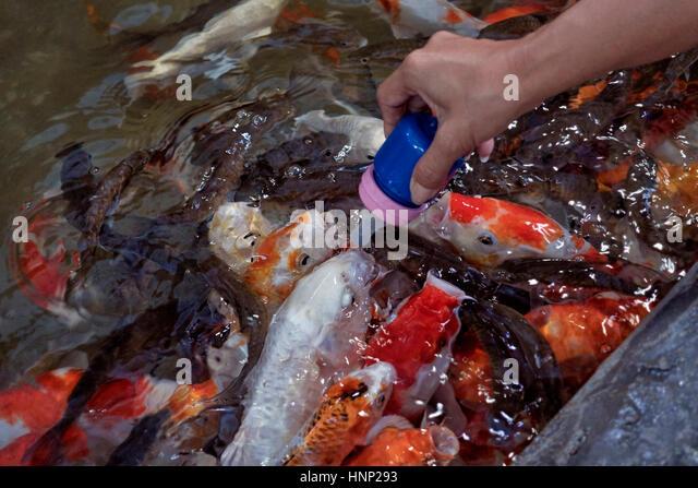 To interact stock photos to interact stock images alamy for Feeding koi carp