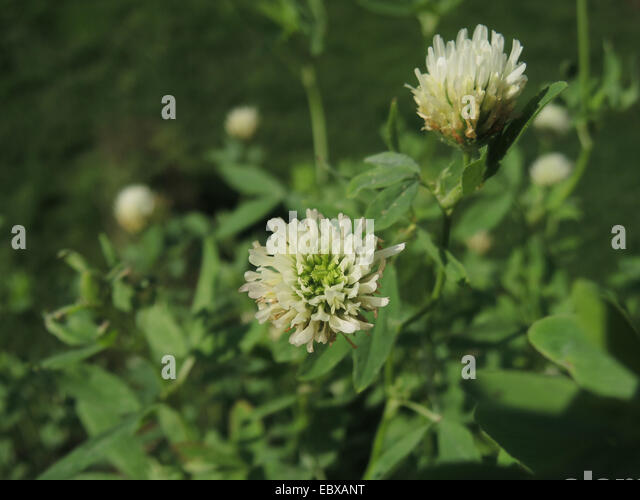 Egyptian clover videos, photos and facts - Trifolium alexandrinum ...