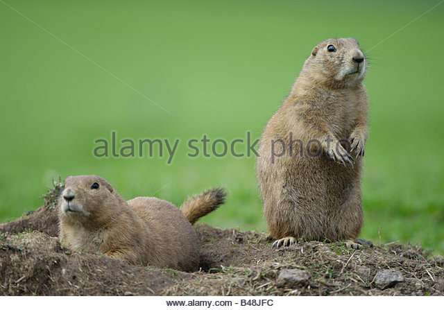 an overview of the praire dog cynomys ludovicianus Cynomys sp—prairie dogs // cynomys gunnisoni—gunnison's prairie dog // cynomys ludovicianus—black-tailed prairie dog // cynomys mexicanus—mexican prairie dog.