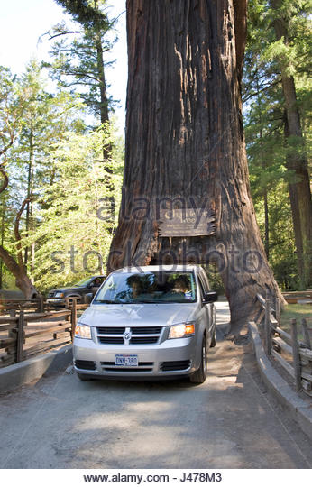 Chandelier drive thru tree stock photos chandelier drive thru tree mini van driving through the chandelier drive thru tree drive thru tree park mozeypictures Image collections