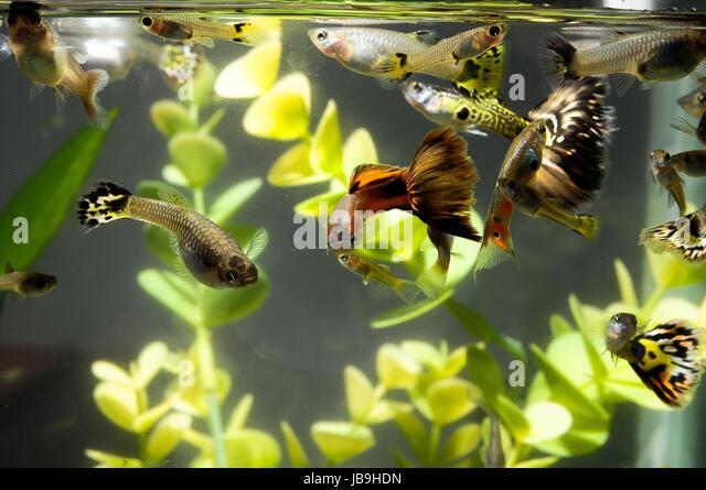 Guppy poecilia reticulata stock photos guppy poecilia for Jb tropical fish