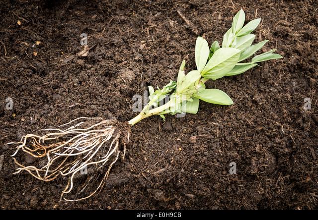 Bean root