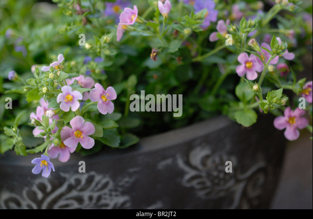 how to grow bacopa monnieri