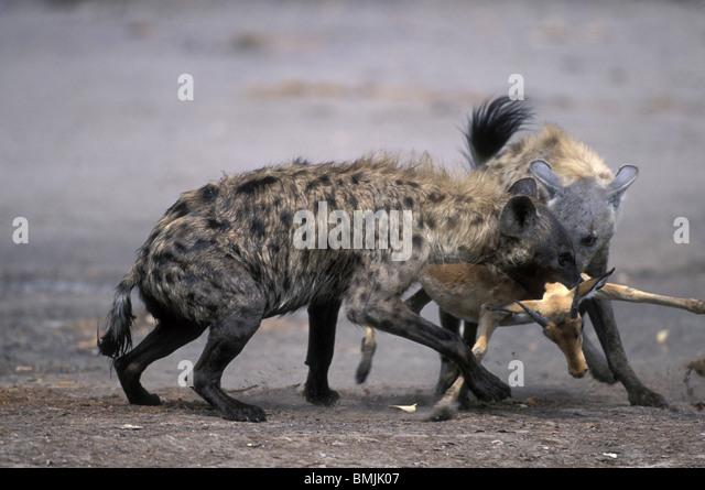 botswana chobe national park spotted hyenas crocuta crocuta kill impala aepyceros