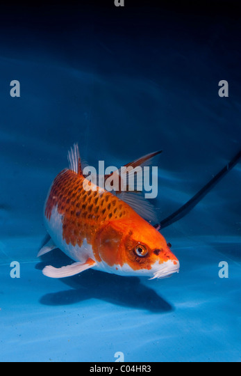 Domesticated common carp stock photos domesticated for Japanese ornamental fish