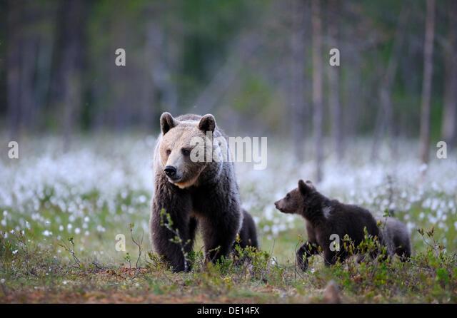 brown bear ursus female little stock photos amp brown bear