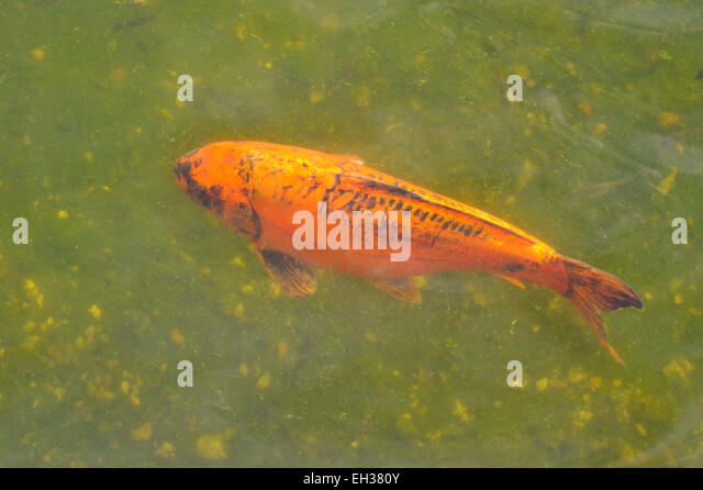 Koi carp uk stock photos koi carp uk stock images alamy for Koi pool poulton