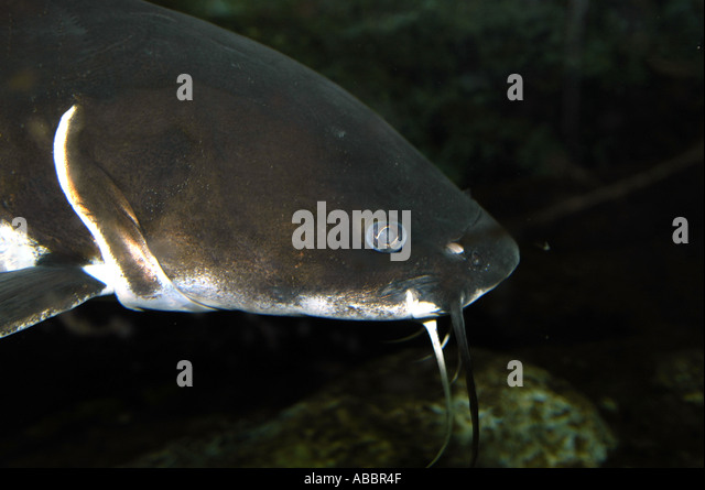 long-whiskered catfishes, pimelodid catfishes (Pimelodidae), portrait ...