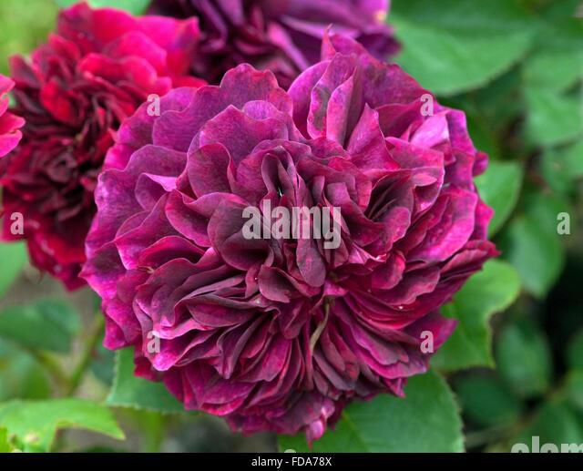 englische rosen stock photos englische rosen stock images alamy. Black Bedroom Furniture Sets. Home Design Ideas