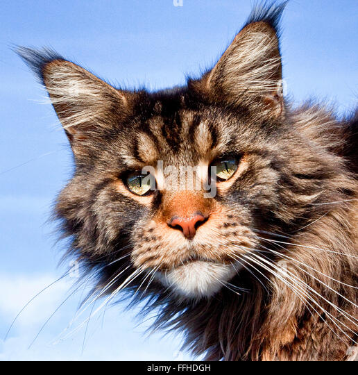 Maine Coon Cat Dog Behavior