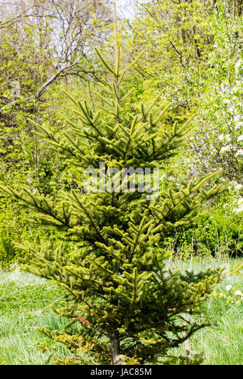 white fir - Stock Image