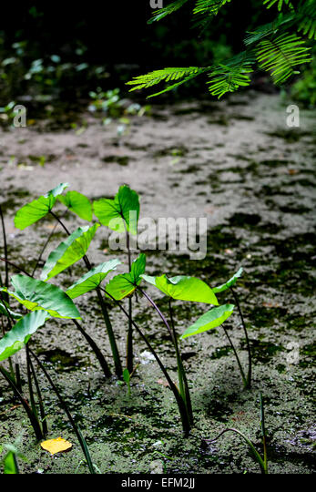 Taro corms stock photos taro corms stock images alamy for Natural pond plants