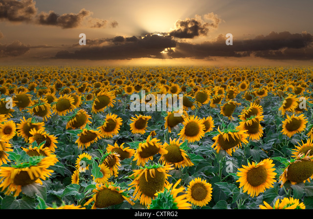 Field Of Sunflowers At Sunset In West Texas