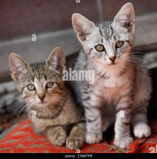 Picture Lynx Beside Domestic House Cat