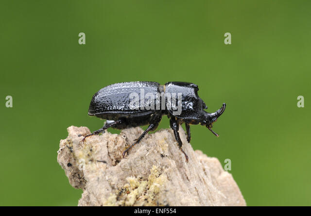rhinoceros beetle stock photos amp rhinoceros beetle stock