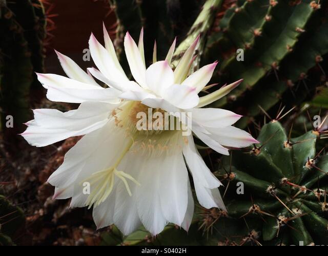 Cactuses Flower Stock Photos & Cactuses Flower Stock ...