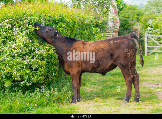 Cow eating foliage from a bush. Size view of a cow stretching it's neck up to reach leaves to eat. - Stock Image