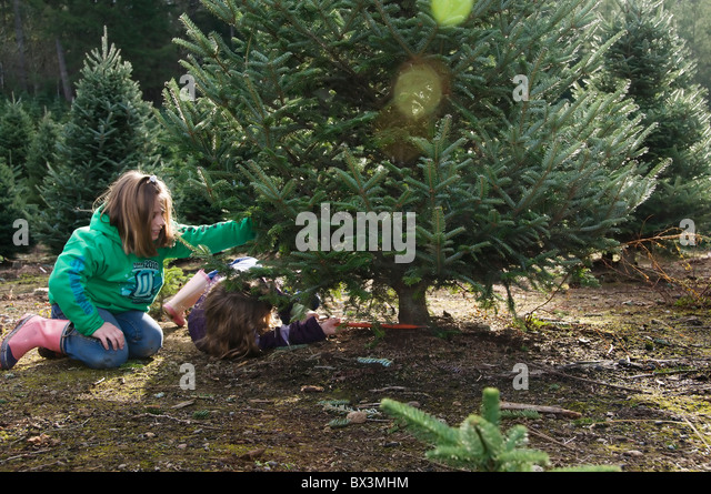 Christmas Tree Cutting Sawing Stock Photos Christmas Tree  - Christmas Trees To Cut Down