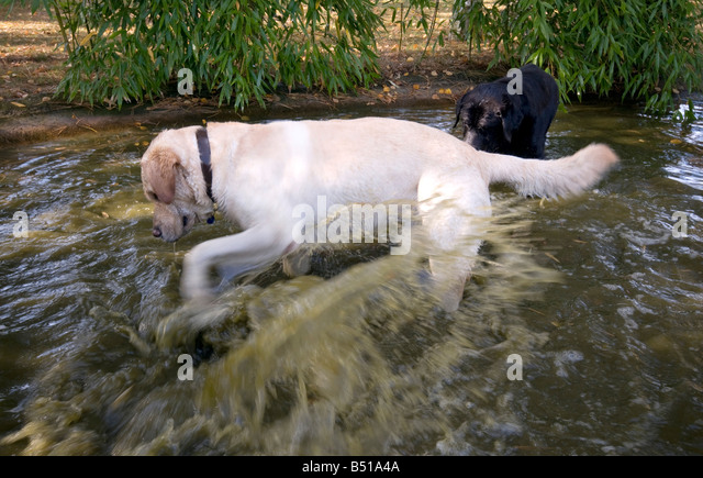 Golden duck stock photos golden duck stock images alamy for Koi pond labradors