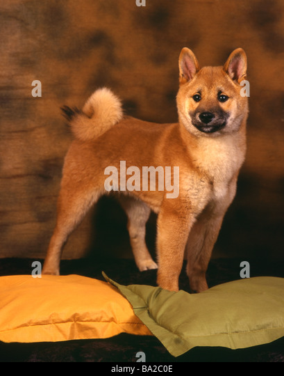 dogs are similar to akita dogs only smaller and they look