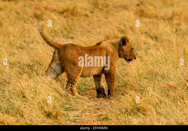 Baby Animals And Father And Lion Stock Photos & Baby ...
