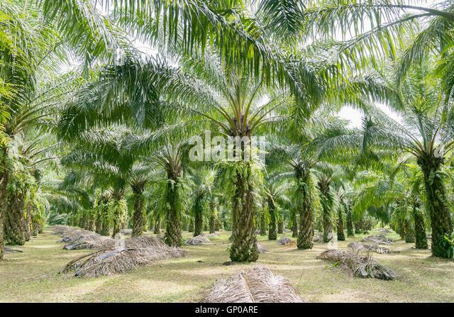 Palm Oil Malaysia Stock Photos & Palm Oil Malaysia Stock ...