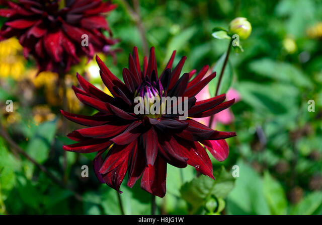 Dahlia Arabian Knight Semi Dinner Plate Dahlias Dark Red Maroon Flower  Flowers Flowering Perennial RM Floral