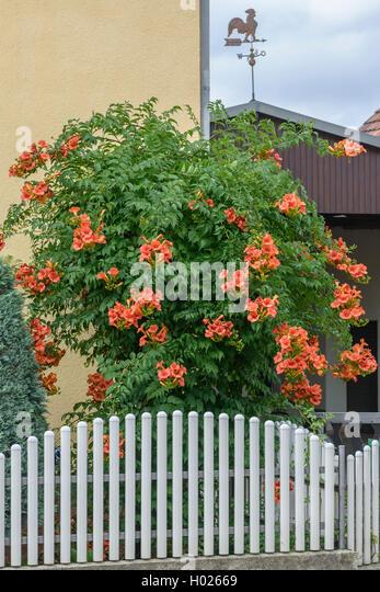 bignoniaceae campsis stock photos bignoniaceae campsis. Black Bedroom Furniture Sets. Home Design Ideas