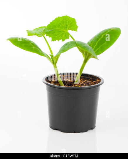 planter tomato stock photos planter tomato stock images alamy. Black Bedroom Furniture Sets. Home Design Ideas