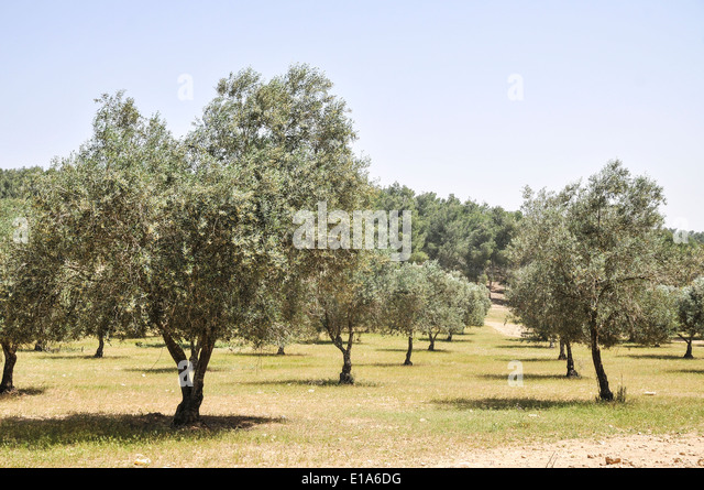 Orchard israel stock photos orchard israel stock images alamy Olive garden citrus heights ca