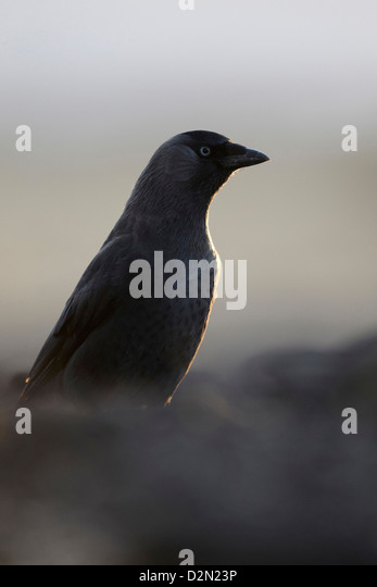 Jackdaw Uk Stock Photos Amp Jackdaw Uk Stock Images Alamy