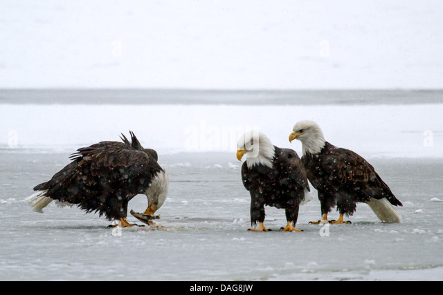 Warblers and rumors of warblers: Bald Eagle on ice