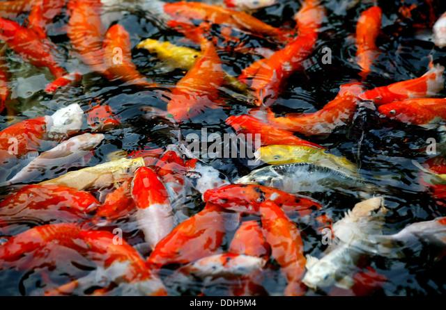Goldfish koi pond stock photos goldfish koi pond stock for Koi feeding