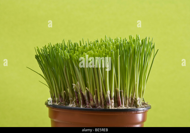 how to grow chives in a pot
