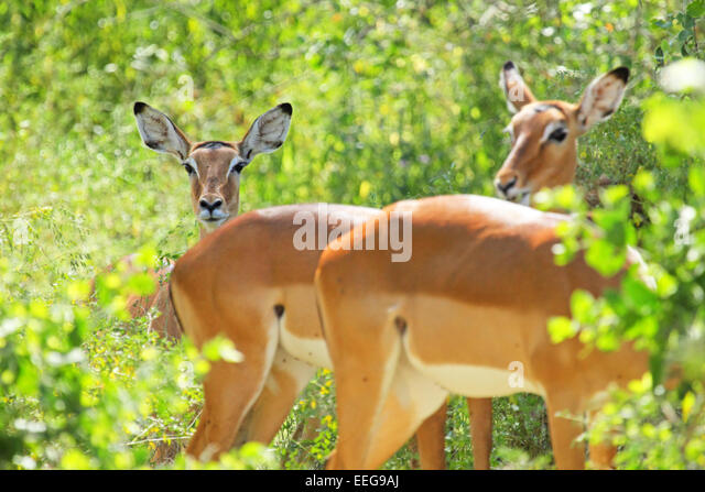Groups Of Impala Stock Photos and Pictures | Getty Images
