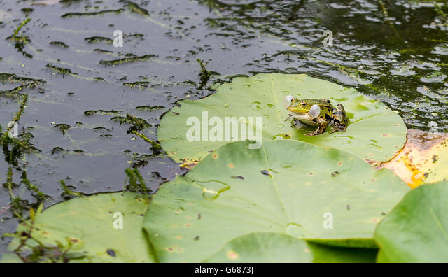 Frog lily pad flower stock photos frog lily pad flower for Green pond water