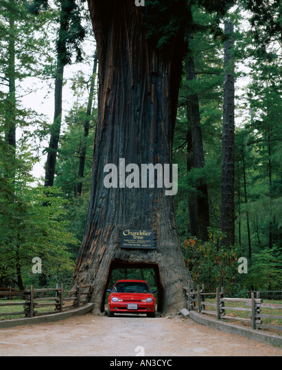 Redwood Tree With Car Stock Photos Amp Redwood Tree With Car