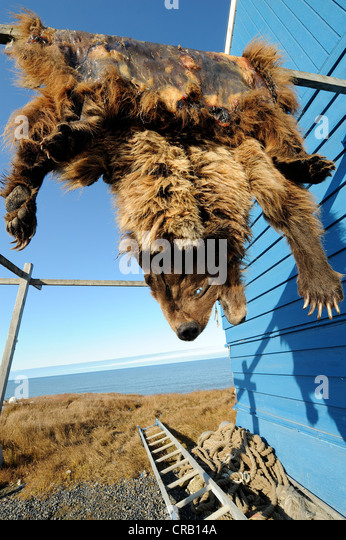 Grizzly bear skin hanging to dry or cure on blue building in Barrow, Alaska,
