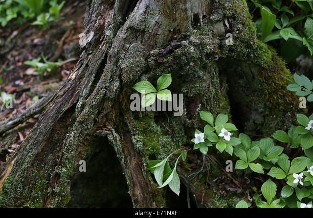 Isle royale national park stock photos isle royale - Flowers that grow on tree trunks ...