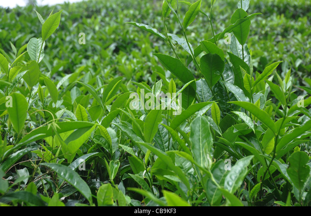 tea cultivation And high lands etc were converted to tea cultivation by small tea farmers  a)  has small scale tea cultivation in assam replaced the existing cropping pattern to.