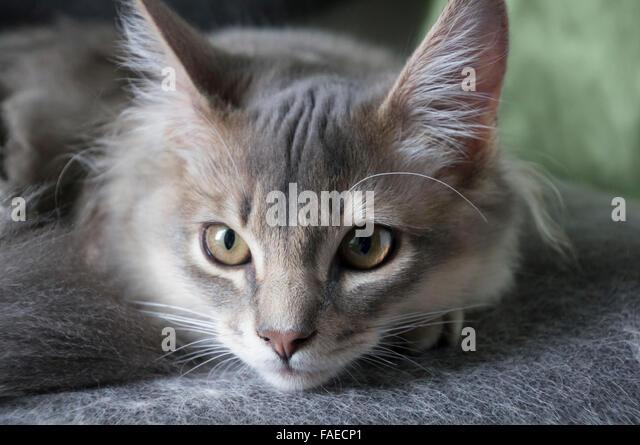 Somali cat  Wikipedia