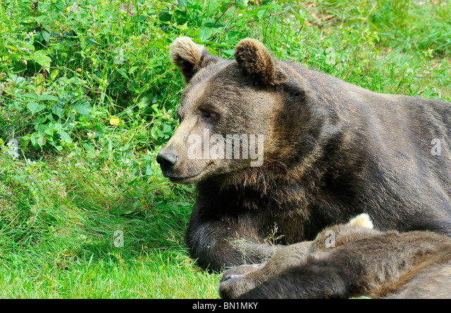 Orso Bruno Stock Photos & Orso Bruno Stock Images - Alamy